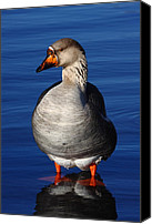 Gans Canvas Prints - Loosey Goosey Canvas Print by Charley Starnes
