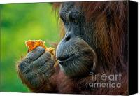Orangutan Photo Canvas Prints - Lost in Mango Daydreams Canvas Print by Carl Jackson