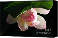 Lotus Leaves Canvas Prints - Lotus 6 Canvas Print by Catherine Lau