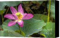 Lotus Full Bloom Canvas Prints - Lotus Canvas Print by Andreas Jancso