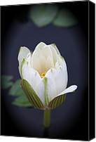 Lotus Bud Canvas Prints - Lotus Bud Canvas Print by Christiane Schulze