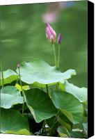 Lotus Bud Canvas Prints - Lotus Buds Canvas Print by Christiane Schulze