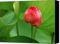 Lotus Bud Canvas Prints - Lotus Flower Canvas Print by Harry Spitz
