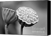 Florida Flowers Canvas Prints - Lotus Pods in Black and White Canvas Print by Sabrina L Ryan