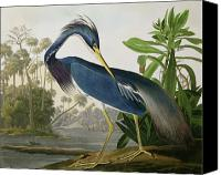 Shore Painting Canvas Prints - Louisiana Heron Canvas Print by John James Audubon