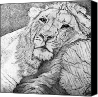 Lion Drawings Canvas Prints - Lounging Canvas Print by Sheena Pike