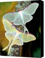 Luna Canvas Prints - Luna Moths Canvas Print by Millard H Sharp and Photo Researchers