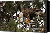 Bald Eagle Canvas Prints - Lunchtime Canvas Print by Reflective Moments  Photography and Digital Art Images