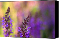 New Hampshire Canvas Prints - Lupin Bokeh Canvas Print by Joann Vitali