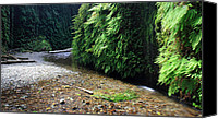 Tall Trees Canvas Prints - Lush Fern Canyon Canvas Print by Pierre Leclerc