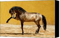 Buckskin Canvas Prints - Lusitano Stallion Canvas Print by Carol Walker