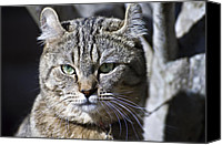 Susan Leggett Canvas Prints - Lynx Cat Canvas Print by Susan Leggett