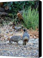 Quail Canvas Prints - Ma and Pa Quail Canvas Print by Carol Groenen