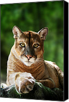 Lion Digital Art Canvas Prints - Mac Canvas Print by Big Cat Rescue
