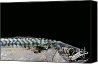 Fish Canvas Prints - Mackeral Canvas Print by Marion Galt
