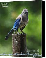 Scrub-jay Photo Canvas Prints - Mad Bird Canvas Print by Barbara Bowen