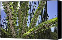 Berenty Canvas Prints - Madagascan Ocotillo Alluaudia Procera Canvas Print by Thomas Marent