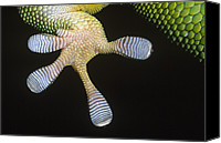 Fn Canvas Prints - Madagascar Day Gecko Phelsuma Canvas Print by Ingo Arndt