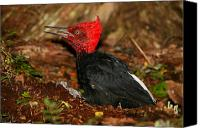 Fuego Canvas Prints - Magellanic Woodpecker Canvas Print by Bruce J Robinson