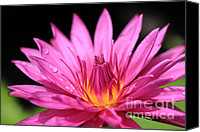 Lotus Art Canvas Prints - Magenta Waterlily Canvas Print by Cheryl Young