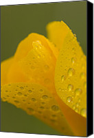 Poppy Petals Canvas Prints - Magnification Of A California Poppy Canvas Print by Phil Schermeister
