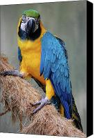 Digiart Canvas Prints - Magnificent Macaw Canvas Print by DigiArt Diaries by Vicky Browning