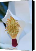 Magnolias Canvas Prints - Magnolia Blossom 1 Canvas Print by Amy Fose