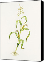 Mays Canvas Prints - Maize (zea Mays) Canvas Print by Lizzie Harper