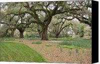 Old Trees Canvas Prints - Majestic Live Oaks in Spring Canvas Print by Suzanne Gaff