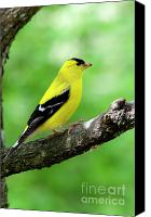Finch Canvas Prints - Male American Goldfinch Canvas Print by Thomas R Fletcher