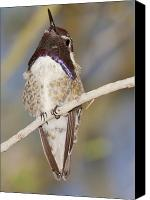 Male Hummingbird Canvas Prints - Male Blackchin Hummingbird Canvas Print by Steven Love