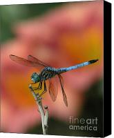 Dragonfly Canvas Prints - Male Blue Dasher Canvas Print by Kim Doran