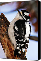 Downy Canvas Prints - Male Downy Woodpecker 2 Canvas Print by Larry Ricker