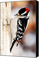 Downy Canvas Prints - Male Downy Woodpecker 3 Canvas Print by Larry Ricker