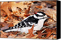 Downy Canvas Prints - Male Downy Woodpecker 4 Canvas Print by Larry Ricker