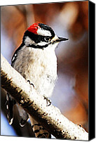 Downy Canvas Prints - Male Downy Woodpecker 5 Canvas Print by Larry Ricker