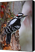 Downy Canvas Prints - Male Downy Woodpecker Canvas Print by Bruce J Robinson