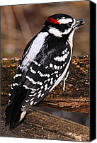 Downy Canvas Prints - Male Downy Woodpecker Canvas Print by Larry Ricker