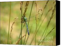 Dragonfly Canvas Prints - Male Eastern Pondhawk Dragonfly Canvas Print by Kim Doran