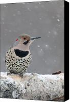 Woodpecker Canvas Prints - Male Flicker Perched in Falling Snow Canvas Print by Tim Grams