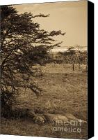 Kenya Canvas Prints - Male Lions Snoozing in Shade Canvas Print by Darcy Michaelchuk