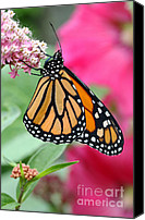 Steve Augustin Canvas Prints - Male Monarch Canvas Print by Steve Augustin