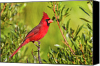 Animals In The Wild Canvas Prints - Male Northern Cardinal Canvas Print by Andy Morffew