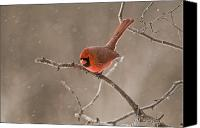 Ontario Mixed Media Canvas Prints - Male Northern Cardinal Canvas Print by Michael Cummings