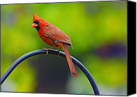 Red Cardinal Canvas Prints - Male Northern Cardinal on Pole 2 Canvas Print by Bill Tiepelman