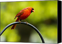 Red Cardinal Canvas Prints - Male Northern Cardinal on Pole Canvas Print by Bill Tiepelman