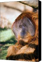 Orangutan Photo Canvas Prints - Male Orangutan Canvas Print by Randall Ingalls