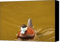 14; The Light Canvas Prints - Male Ruddy Duck Canvas Print by Daniel Hebard