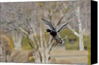 Waterfowl Canvas Prints - Mallard Approach Canvas Print by Mike  Dawson