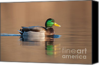 Aves Canvas Prints - Mallard Canvas Print by Clarence Holmes